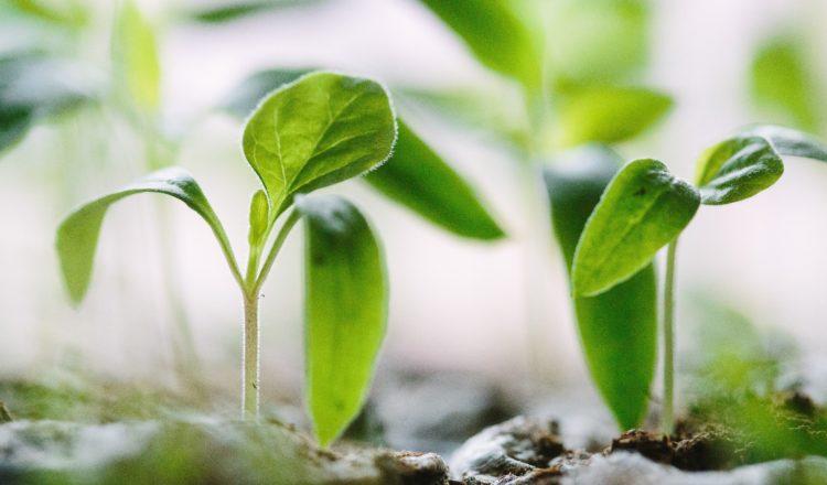 Tout ce que vous avez toujours voulu savoir sur les graines germées